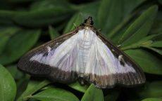 Upozornění na aktuální škodlivost zavíječe zimostrázového / fotogalerie / Motýl zavíječe zimostrázového