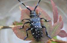 Karanténní škodlivé organismy na lesních a okrasných dřevinách